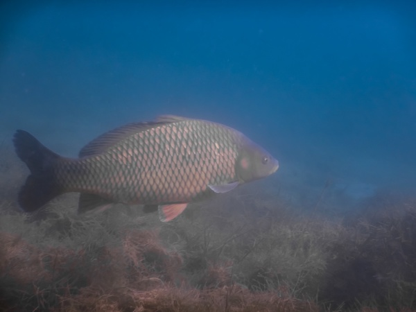 carp swims in blue water from