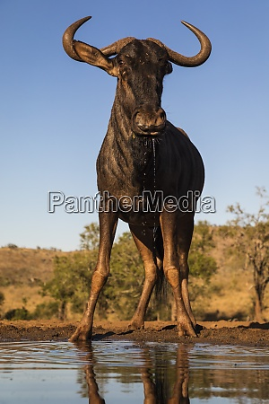 common wildebeest connochaetes taurinus at water